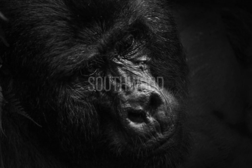 Silverback - © Dave Southwood