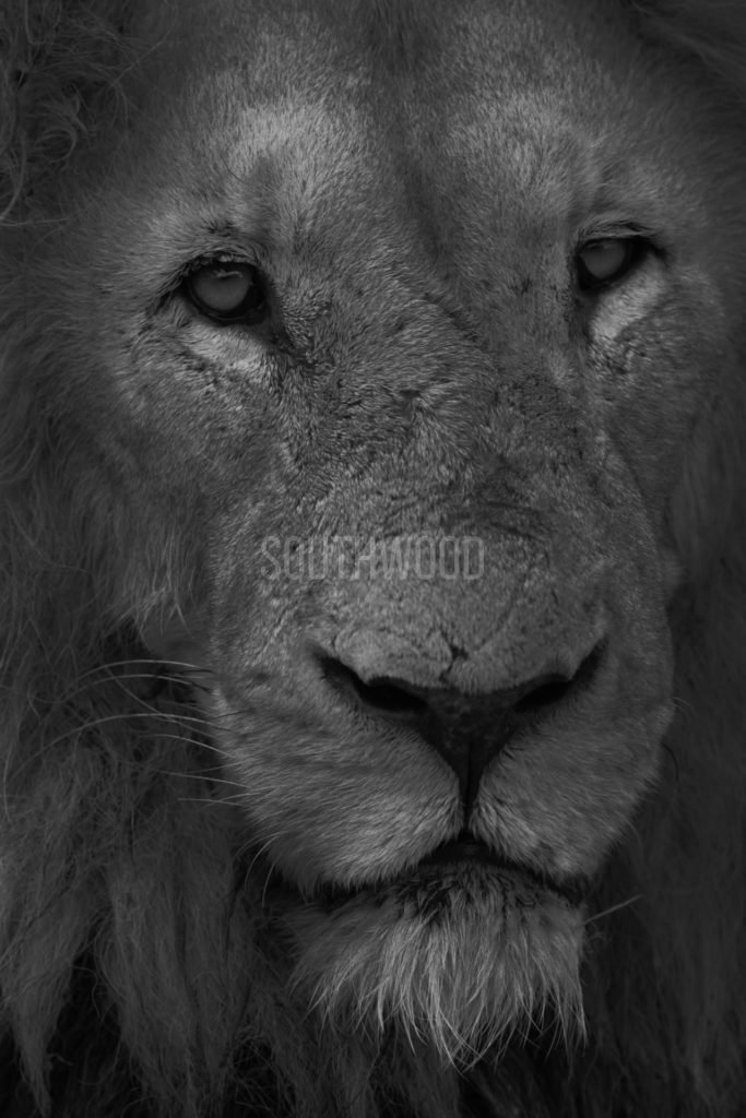 Lion Stare - © Dave Southwood