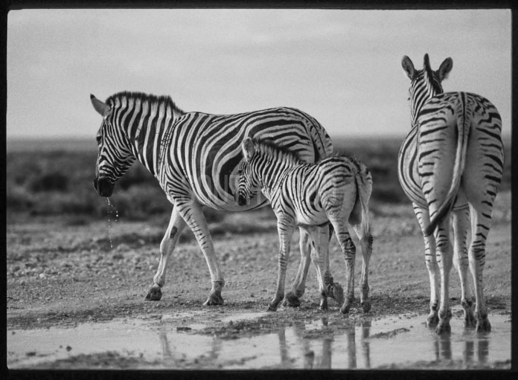 Zebra Mother And Foal - © Dave Southwood
